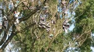 Schoenenboom in Oudorp.