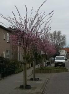 Lente in Scholeksterstraat.