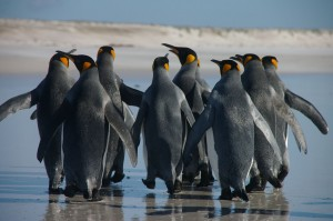 Morgen een andere penguinwalk in Alkmaar. Foto: www.wikimedia.org
